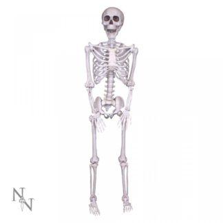 Lifesize Skeleton 152cm